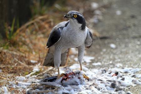 azor: Azor (Accipiter gentilis) comiendo paloma en Jap�n
