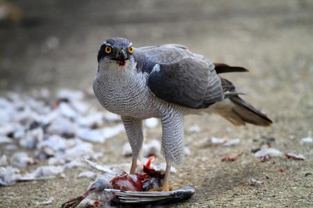 accipiter gentilis: Northern Goshawk (Accipiter gentilis) eating dove in Japan