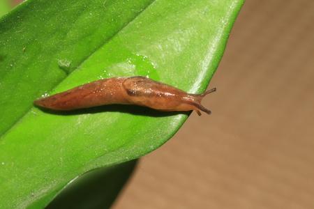 日本の Threeband gardenslug (Lehmannia 地)