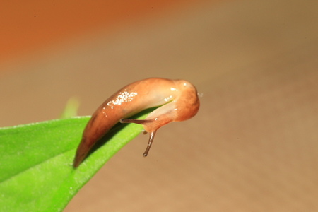 hostas: Threeband gardenslug (Lehmannia valentiana) in Japan