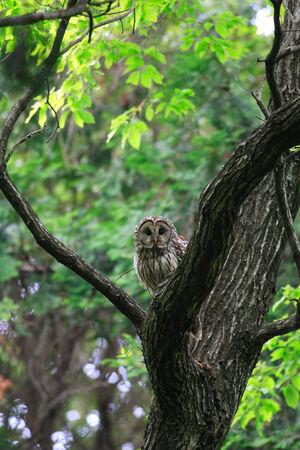 Ural Owl (Strix uralensis fuscescens) in Japan photo