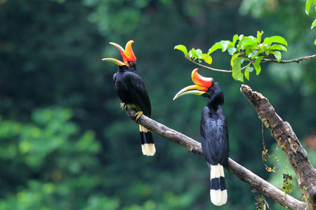 birds: Rhinoceros Hornbill (Buceros rhinoceros) in Sumatra, Indonesia