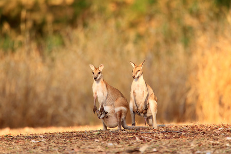 オーストラリアのダーウィンでアジャイル ワラビー (カンガール agilis)