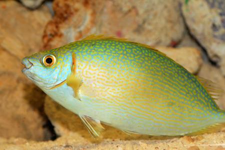 rabbitfish: species of rabbitfish (Siganus woodlandi) in Japan