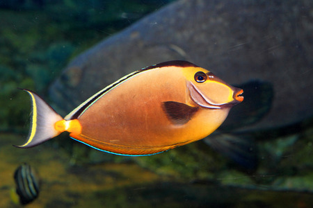 Naso lituratus (Orangespine unicornfish) in Japan