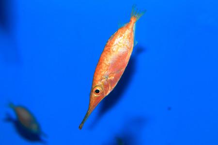 Japanese snipefish (Macroramphosus japonicus) in Japan photo