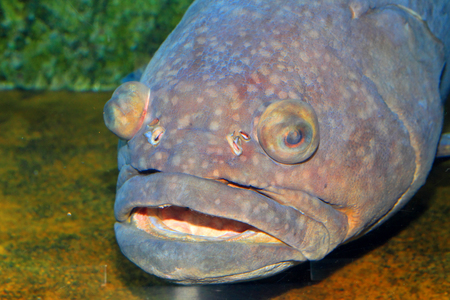 lanceolatus: Giant grouper (Epinephelus lanceolatus) in Japan