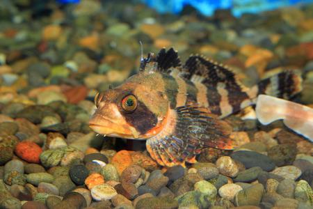 goby: Fasciato Irish signore ghiozzo (Hemilepidotus Gilberti) in Giappone