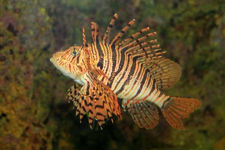pterois: Luna lionfish (Pterois lunulata) in Japan