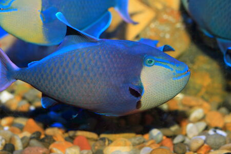 triggerfish: Redtooth triggerfish (Odonus niger) in Japan Stock Photo