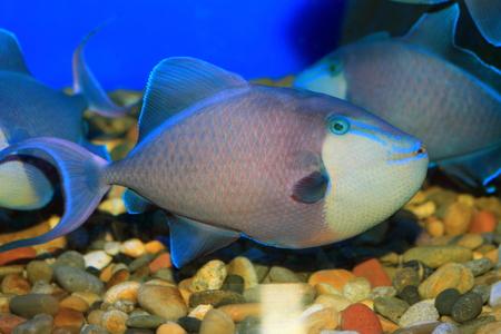 triggerfish: Redtooth triggerfish (Odonus niger) in Japan Stock Photo