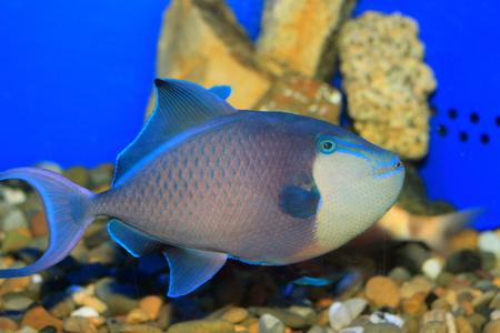 Redtooth triggerfish (Odonus niger) in Japan photo