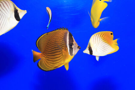 chaetodon: Oriental butterflyfish (Chaetodon auripes) in Japan Stock Photo