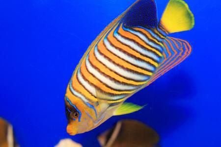 Regal Angelfish (Pygoplites diacanthus) in Japan