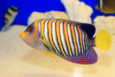royal angelfish: Regal Angelfish (Pygoplites diacanthus) in Japan