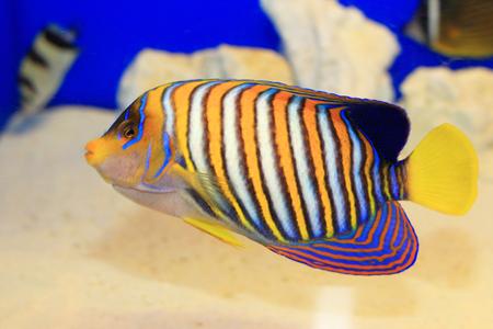 pygoplites diacanthus: Regal Angelfish (Pygoplites diacanthus) in Japan