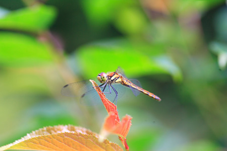 sympetrum: Japanese Autumn darter (Sympetrum frequens) in Japan Stock Photo