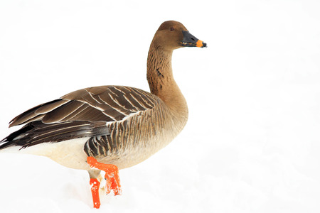 fabalis: Bean goose (Anser fabalis middendorffii) in Japan