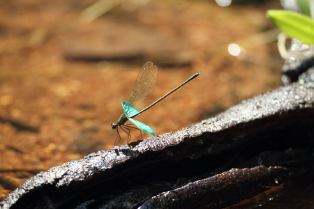 damselfly: Metallic green damselfly (Neurobasis chinensis) in Thailand