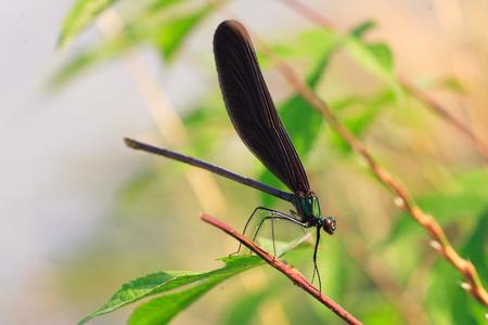 japenese: Damselfly graciosa Japenese (Calopteryx atrata) en Jap�n Foto de archivo
