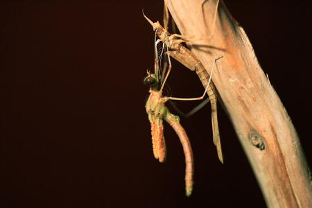 emerge: Japenese graceful damselfly emerge (Calopteryx atrata) in Japan