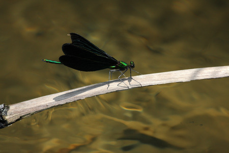damselfly: Calopteryx japonica damselfly in Japan