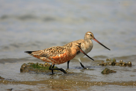 charadriiformes: Bar-tailed Godwit (Limosa lapponica) in Japan