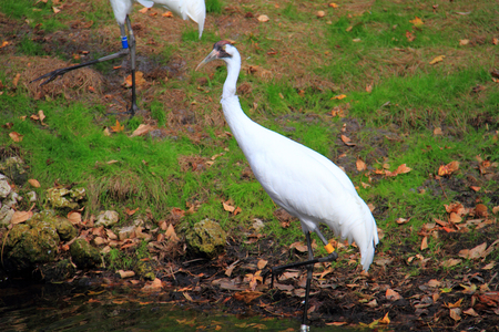 whooping: Whooping Crane (Grus americana) in Florida, North America