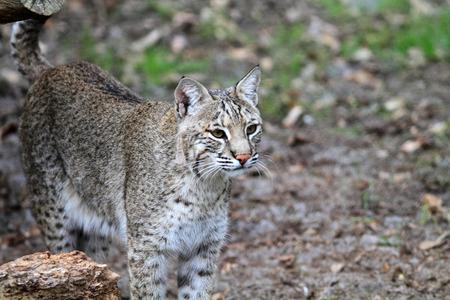 ボブキャットまたはフロリダ州、北アメリカの湾 Lynx (リンクス ルーファス) 写真素材