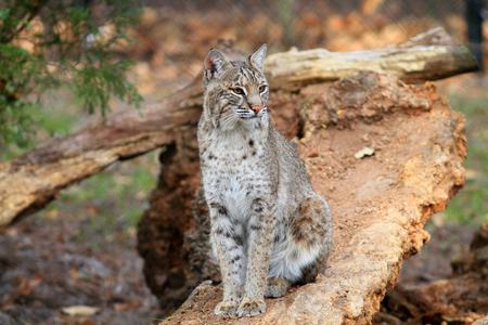 lince rojo: Bobcat o Bah�a del lince (Lynx rufus) en Florida, Am�rica del Norte Foto de archivo