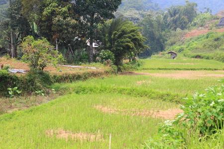 スマトラ、インドネシアのアジアの田んぼ