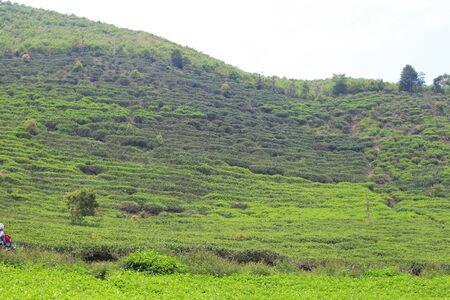 インドネシア ・ スマトラ島の紅茶プランテーション