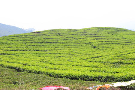 sumatra: Tea plantation in Sumatra Island, Indonesia