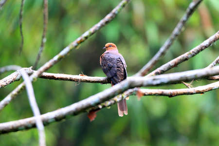 barred: Barred Cuckoo-Dove (Macropygia unchall) in Malaysia