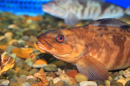greenling: Arabesque greenling or Okhotsk atka mackerel (Pleurogrammus azonus) in Japan Stock Photo