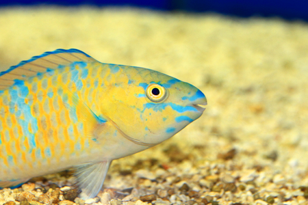 parrotfish: Palenose Parrotfish (Scarus psittacus) in Japan Stock Photo