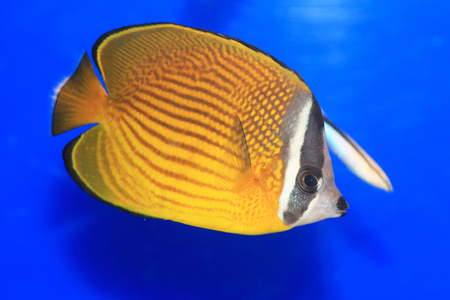 butterflyfish: Oriental butterflyfish (Chaetodon auripes) in Japan Stock Photo