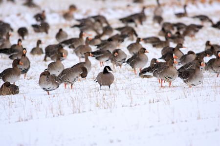 branta: Cackling Goose (Branta hutchinsii) in Japan