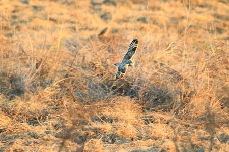 eared: Short-eared Owl (Asio flammeus) in Japan