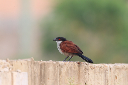 senegal: Senegal Coucal (Centropus senegalensis) in Ghana