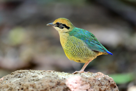 aisa: Bar-bellied Pitta (Hydrornis elliotii) in Vietnam Stock Photo