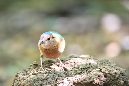 aisa: Blue-rumped Pitta (Hydrornis soror) in Vietnam