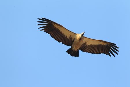 gyps: White-backed Vulture (Gyps africanus) in Ghana, Africa Stock Photo