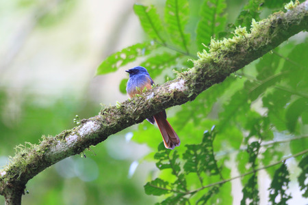 fantail: Blue-headed Fantail (Rhipidura cyaniceps) in Luzon, Philippines