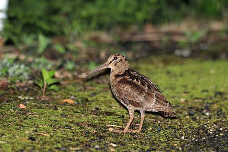 Amami Woodcock (Scolopax mira) in Amami Island, Japan