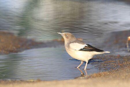 shouldered: White-shouldered Starling (Sturnus sinensis) in Japan