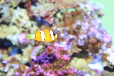 clownfish: Amphiprion ocellaris (Amphiprion ocellaris) en Jap�n Foto de archivo