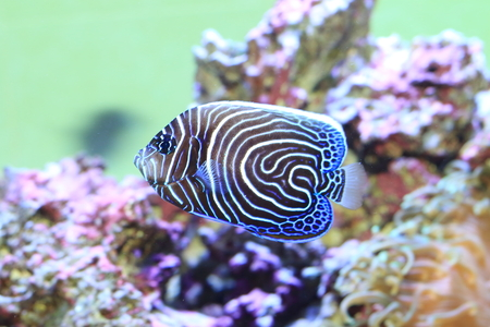 pomacanthus imperator: Angelfish (Pomacanthus imperator) novellame