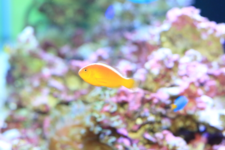 pink anemonefish: Pink anemonefish (Amphiprion perideraion) in Japan Stock Photo