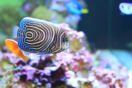 pomacanthus imperator: Emperor angelfish (Pomacanthus imperator) young fish